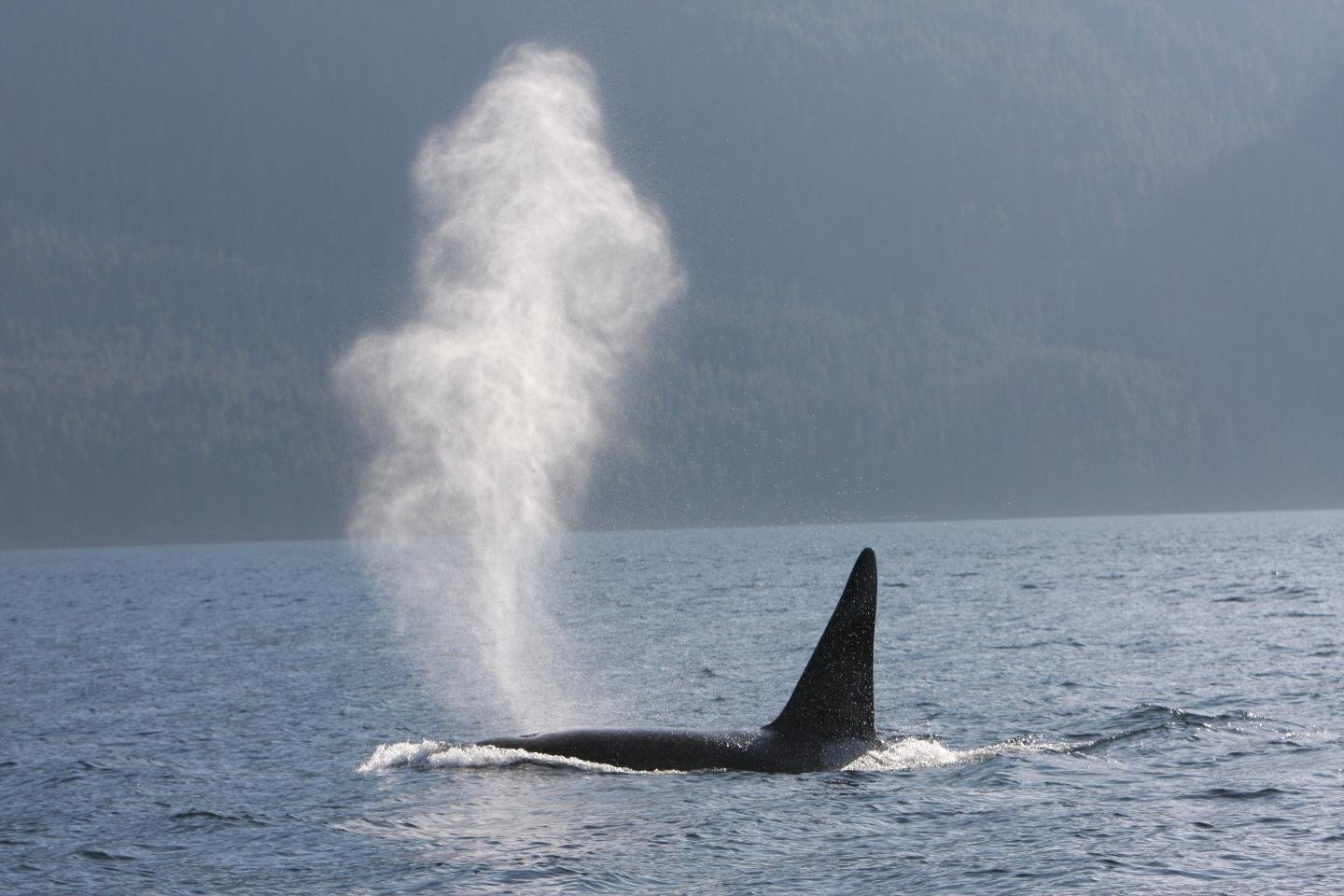 social ties a killer for male whales