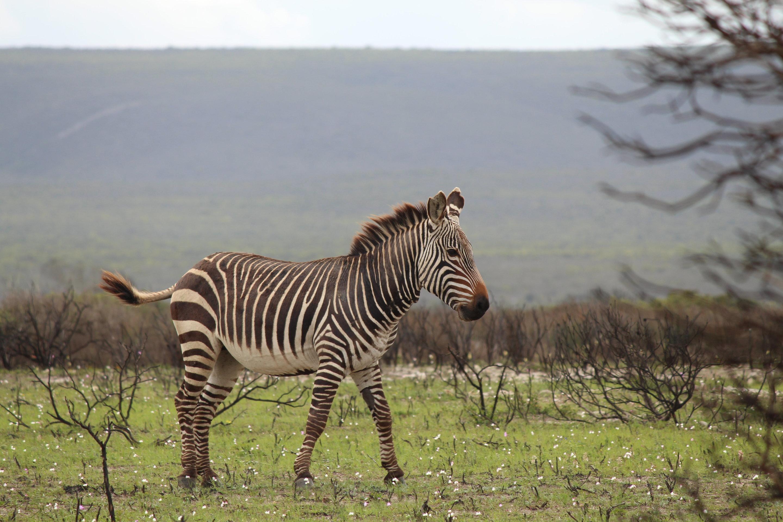 zebra poo science improves conservation efforts