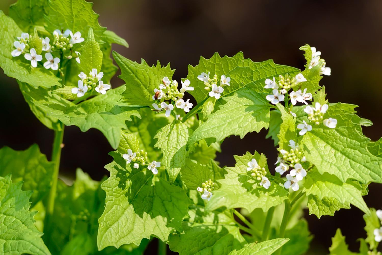 Invasive Plants Rochester MN