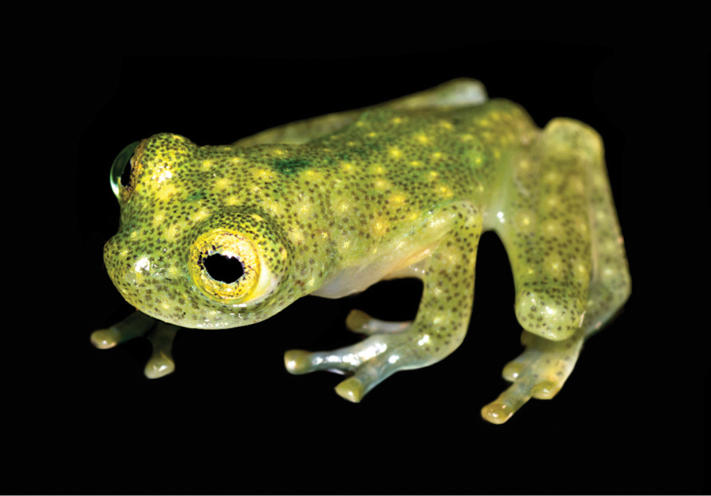 new species of frog from the neotropics carries its heart on its skin