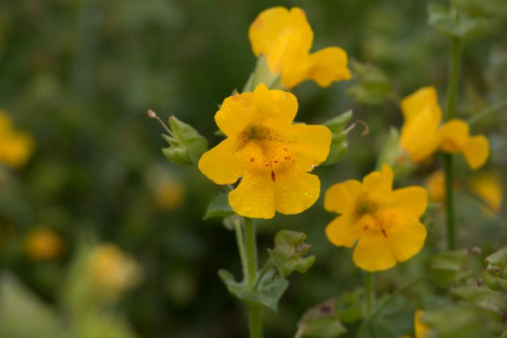 Scientists discover new plant in shetland shetland monkeyflower credit university of stirling mightylinksfo