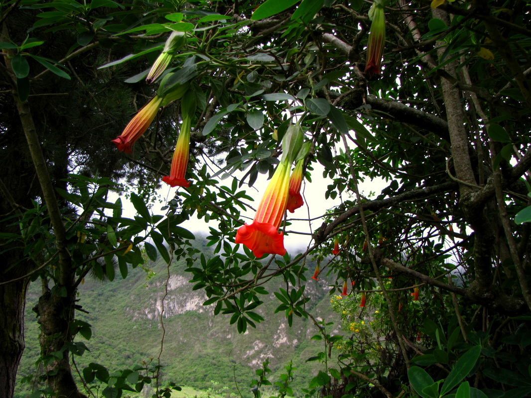Are red violets are bluewhat gives flowers those eye catching hues the flowers of brugmansia sanguinea are a vibrant blood red hence the plants name credit julia dupin izmirmasajfo Images
