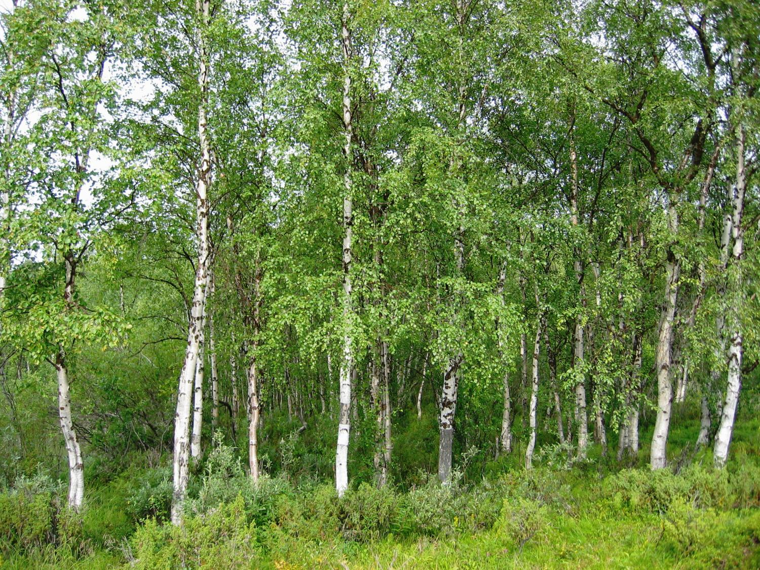 the evolutionary story of birch told through 80 genomes
