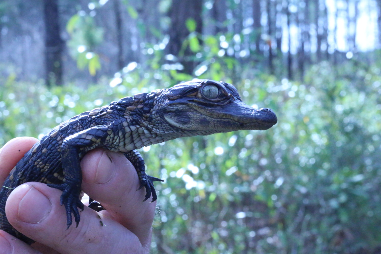 American alligator - Wikipedia
