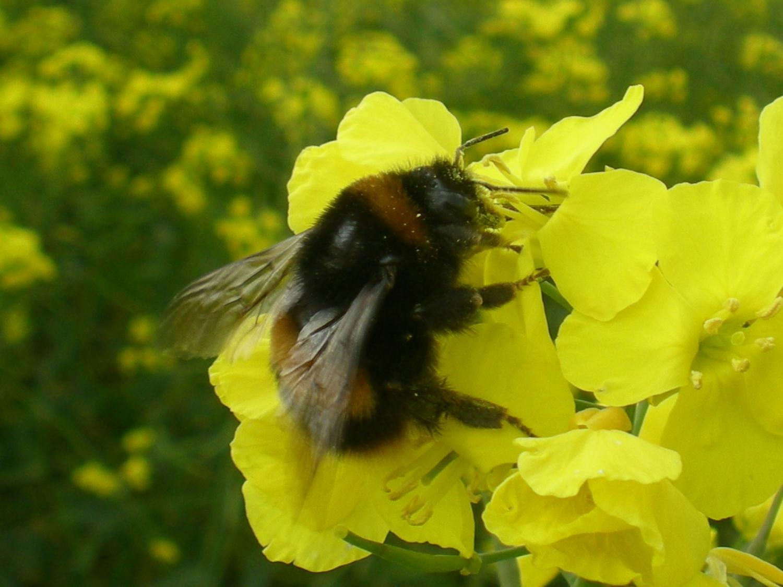 pesticide reduces egg development in wild bumblebee queens