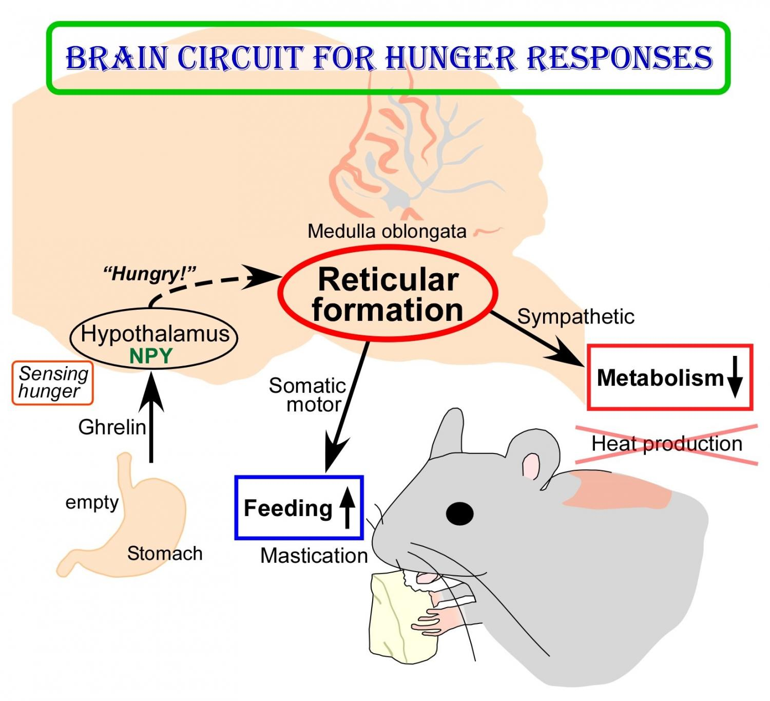 new insights into brain circuit for hunger responses diagram for colon cancer colon for a fuse box diagram for 2002 town car