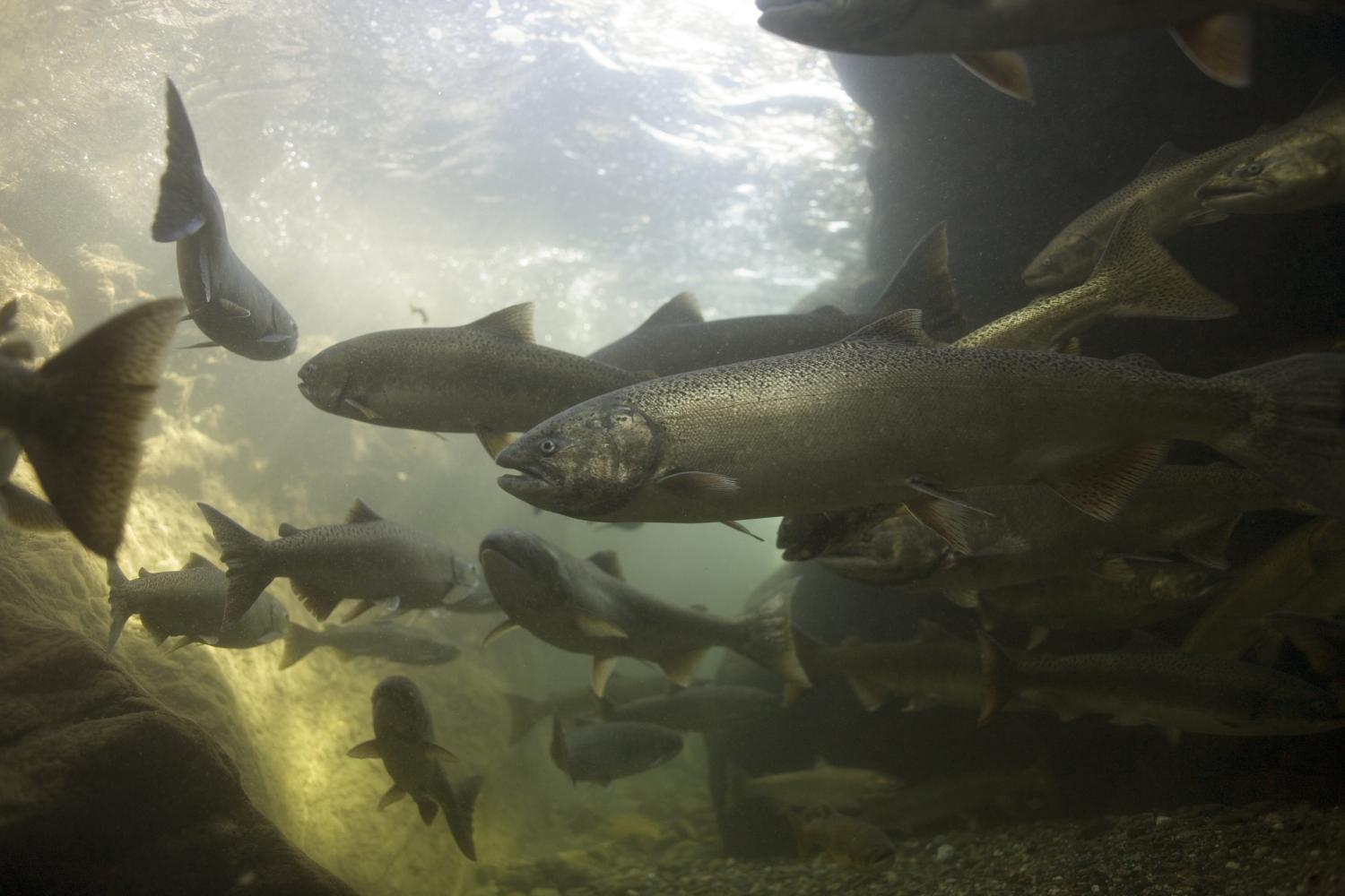 a discussion on the salmon and steelhead population Recovery plans for snake river salmon, steelhead released  the habitat is not  conducive to fish populations and having fish survive, said.