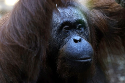Dutch zoo hopes to increase breeding with 'Tinder for orangutans'