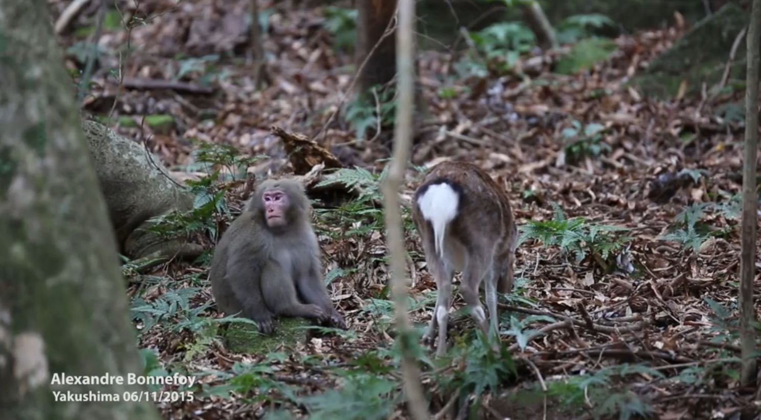 Japanese macaques homosexual behavior