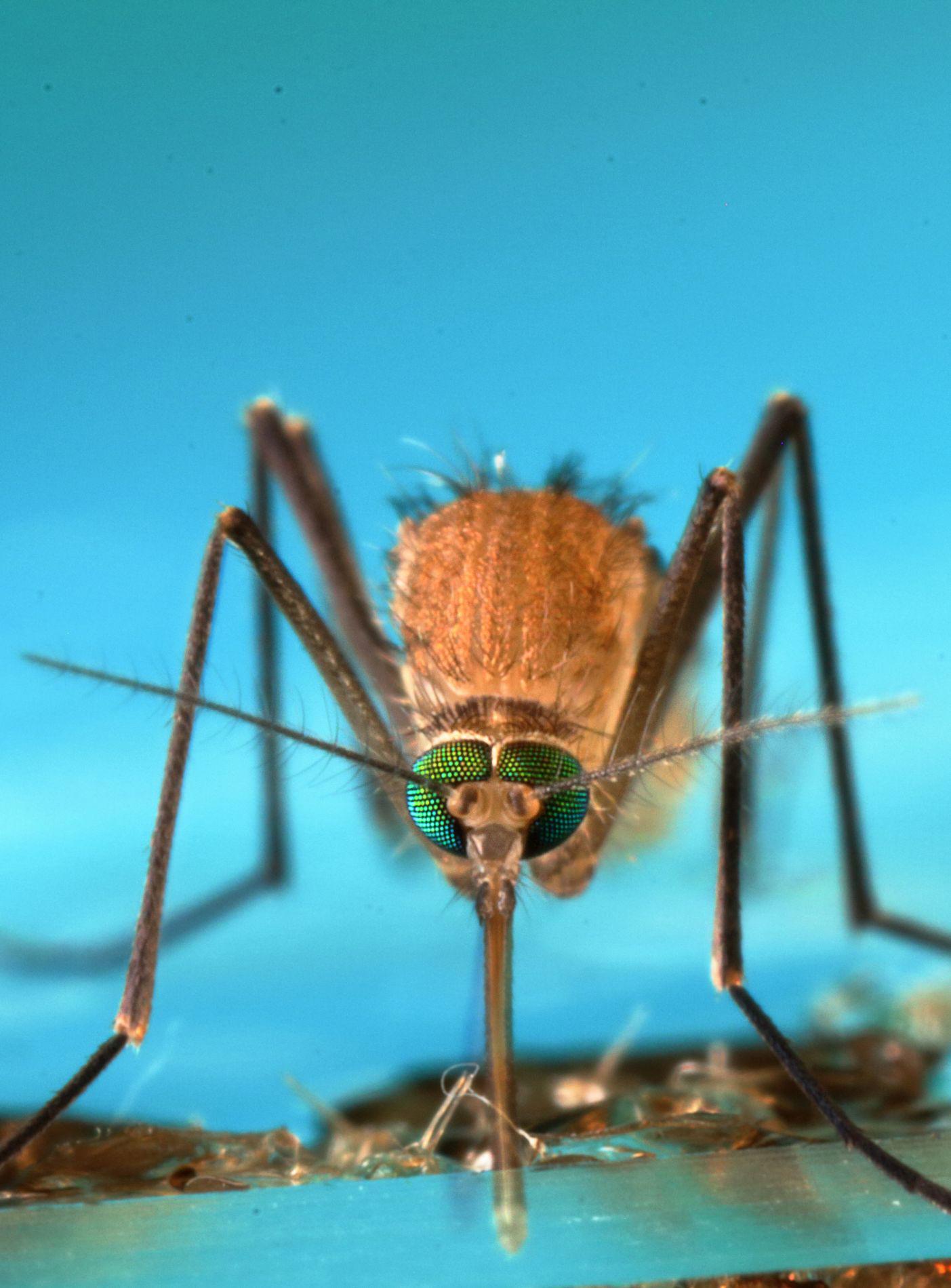 malaria anopeles mosquitoes essay