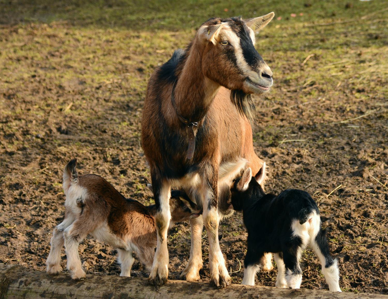 goat - photo #18