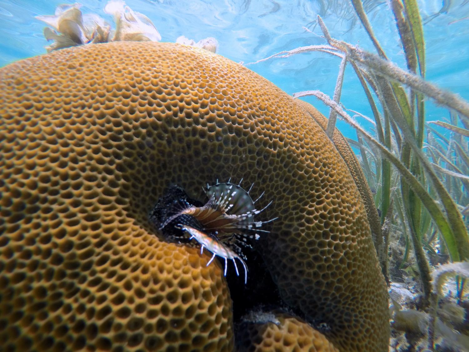 Seagrass beds animals - Fishes And Invertebrates Live Alongside Seagrass Meadows In Indonesia Credit Margaux Hein