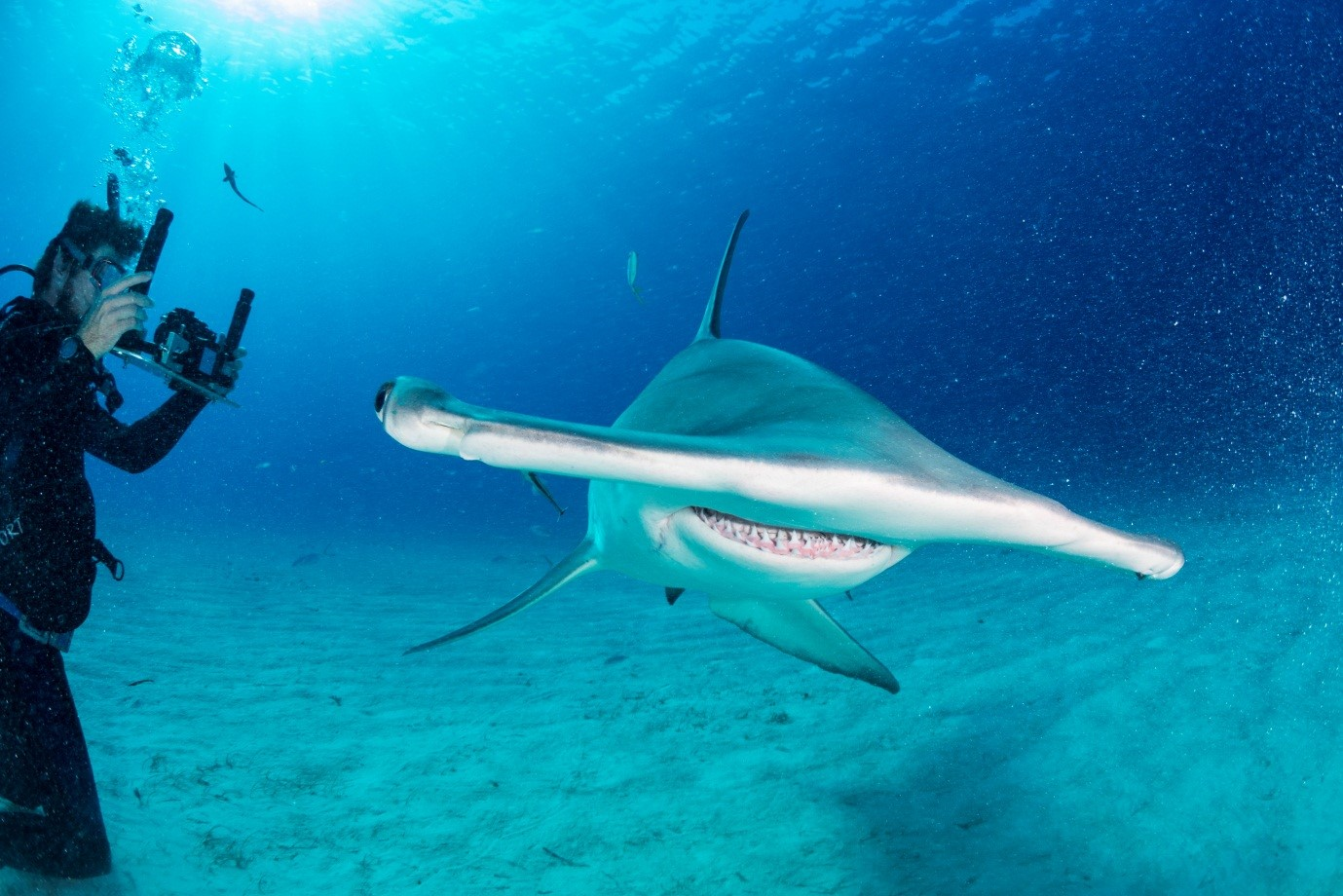 Hammerhead shark migration gives new hope for conservation