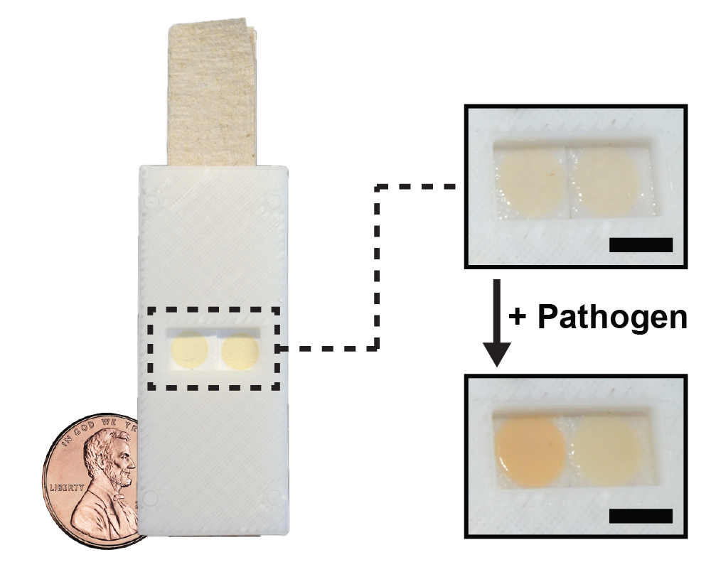 Researchers Develop Yeast Based Tool For Worldwide Pathogen Detection Inside The Lab Where They Build Robots That Are Smaller Than Pennies Biosensor Test Costs Less A Penny To Make And Turns Red When Exposed Target Credit Virginia Cornish