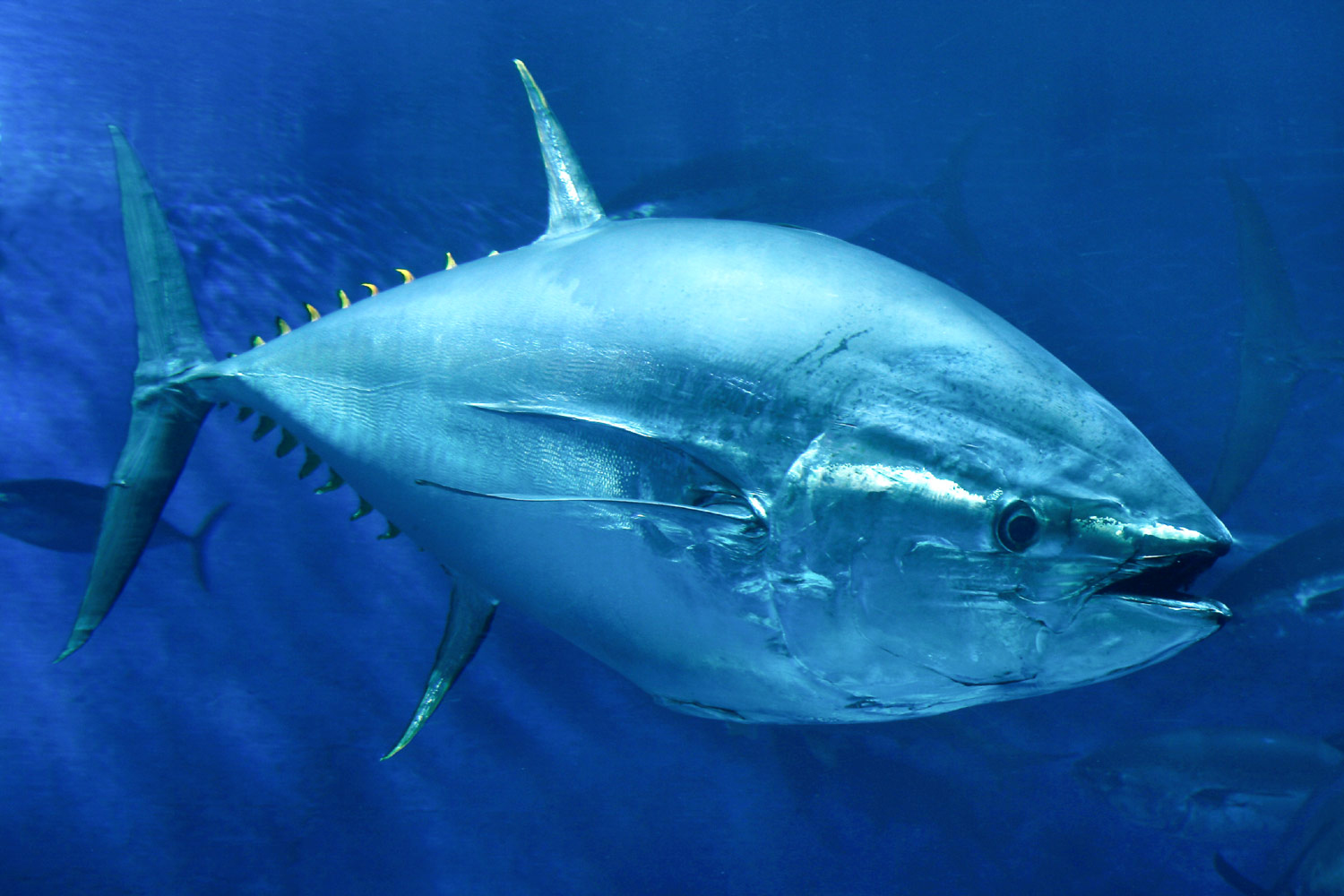Researchers discover biological hydraulic system in tuna fins