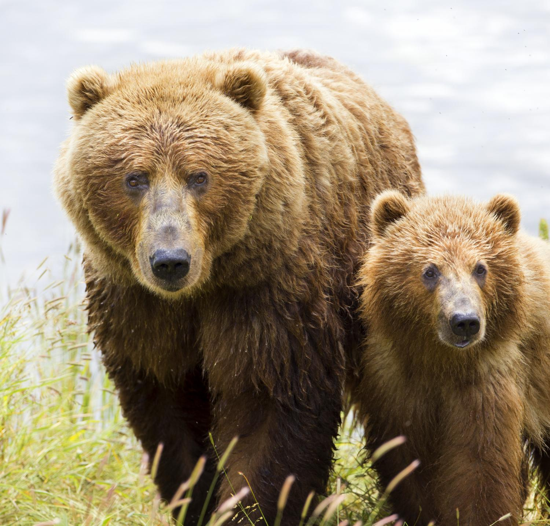 Kodiak bears found to switch to eating elderberries ...