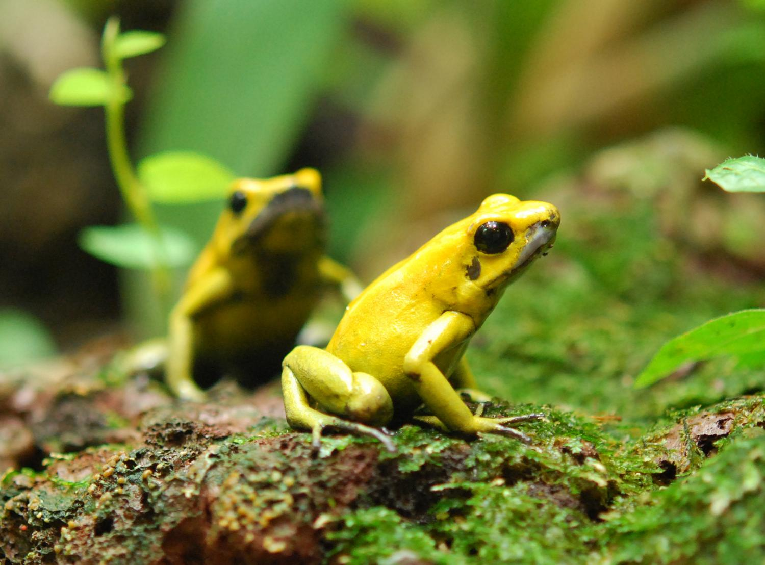 why poison dart frogs don u0027t poison themselves