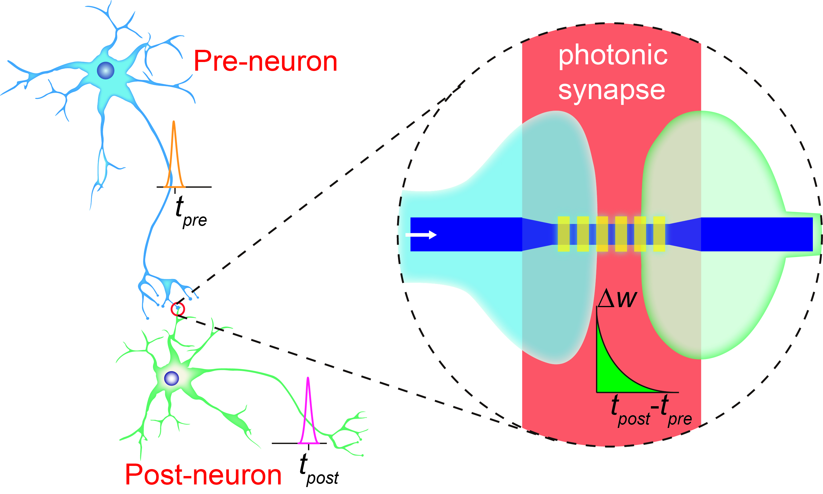 Move towards holy grail of computing by creation of brain like a schematic of a photonic synapse mimicking the biological synapse connecting neurons credit harish bhaskaran ccuart Gallery