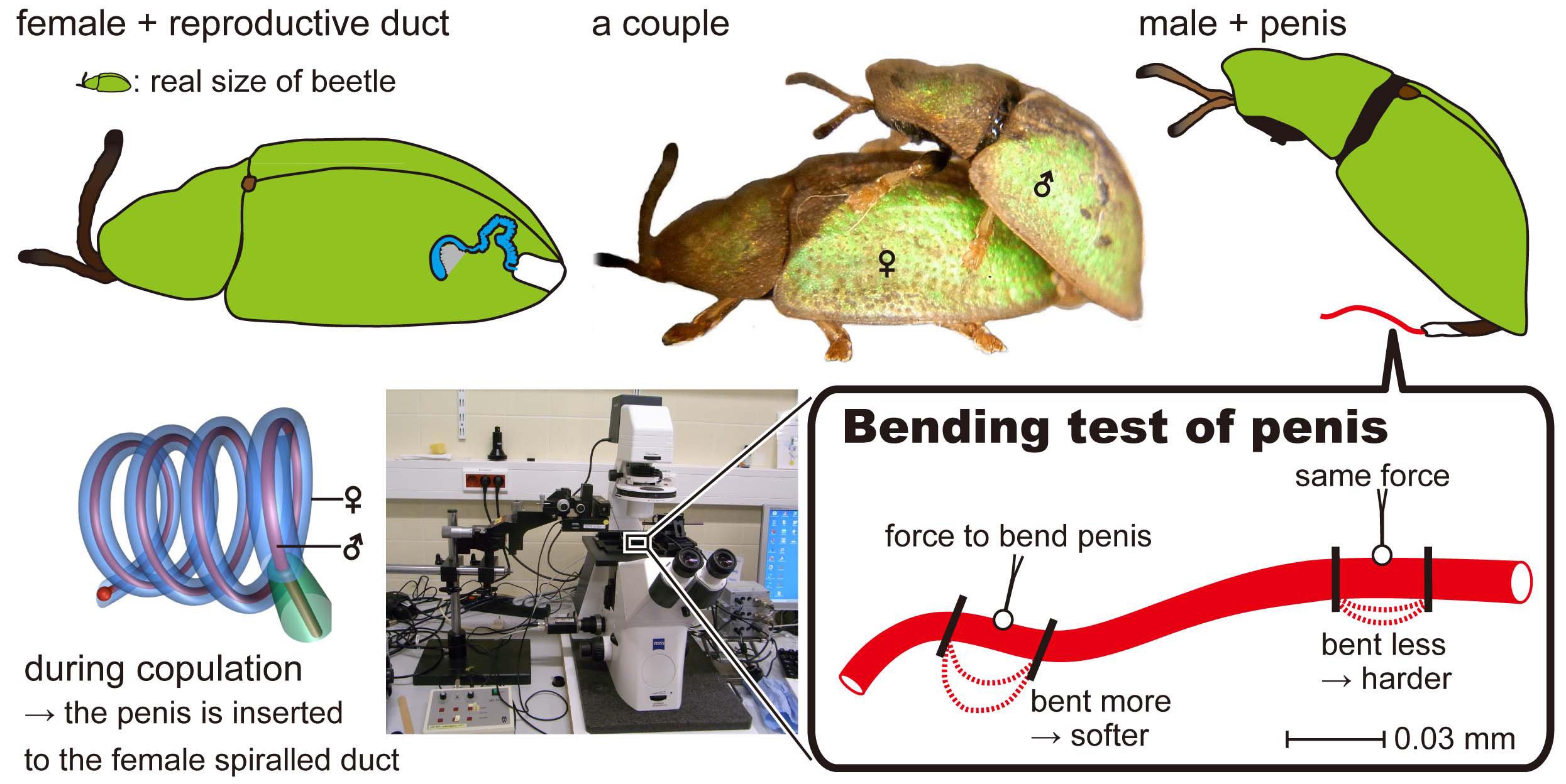 Penis penetration study