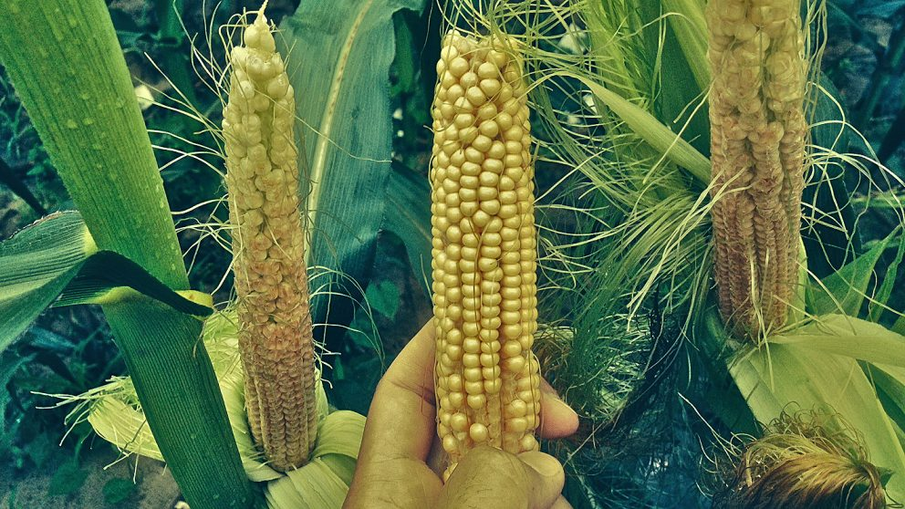 Image result for They look for ways to control maize diseases through genetics