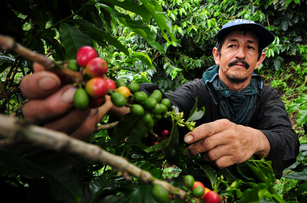 Global warming could reduce Latin American coffee-growing areas by 88%