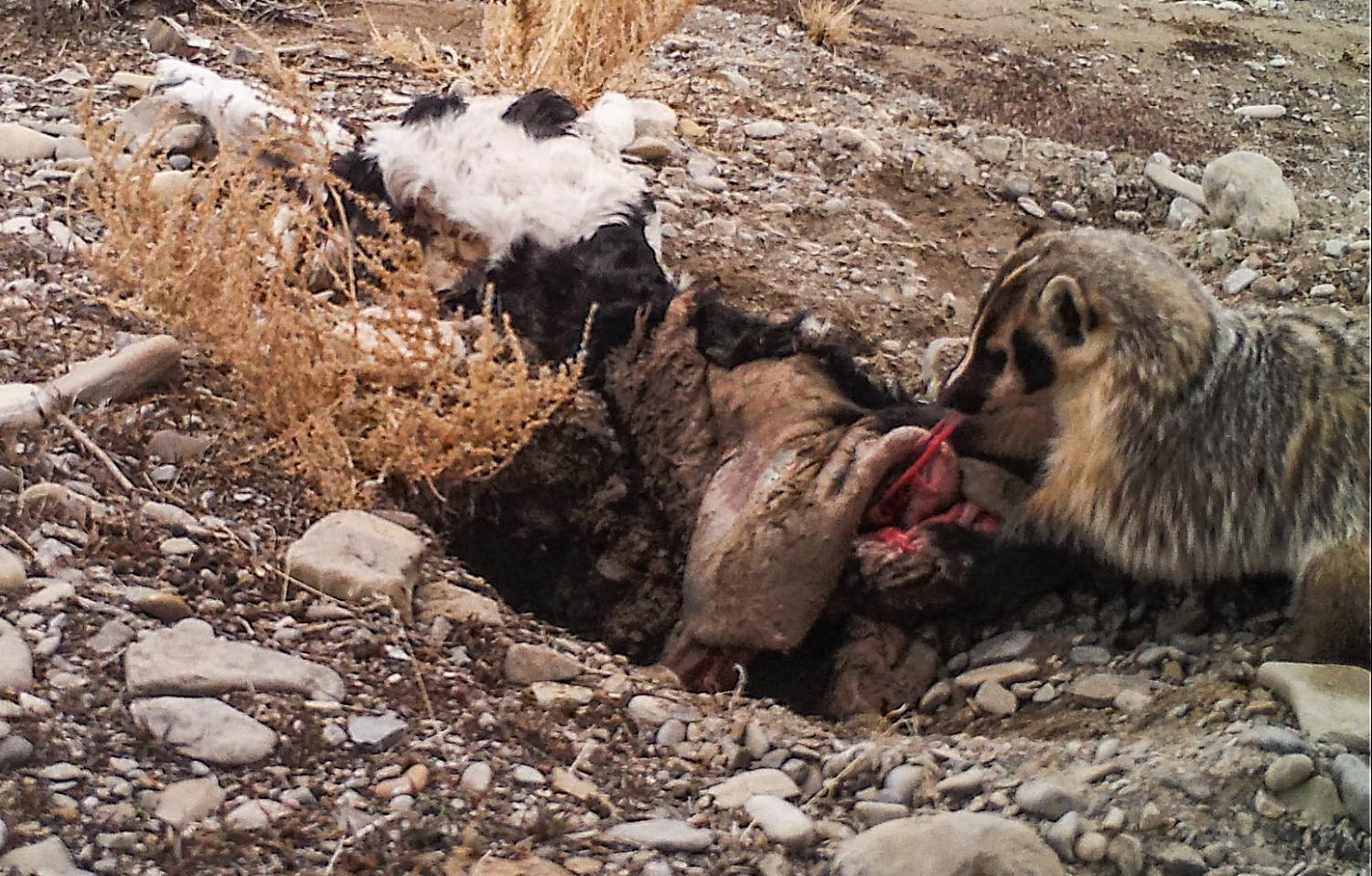 American badger singlehandedly buries cow
