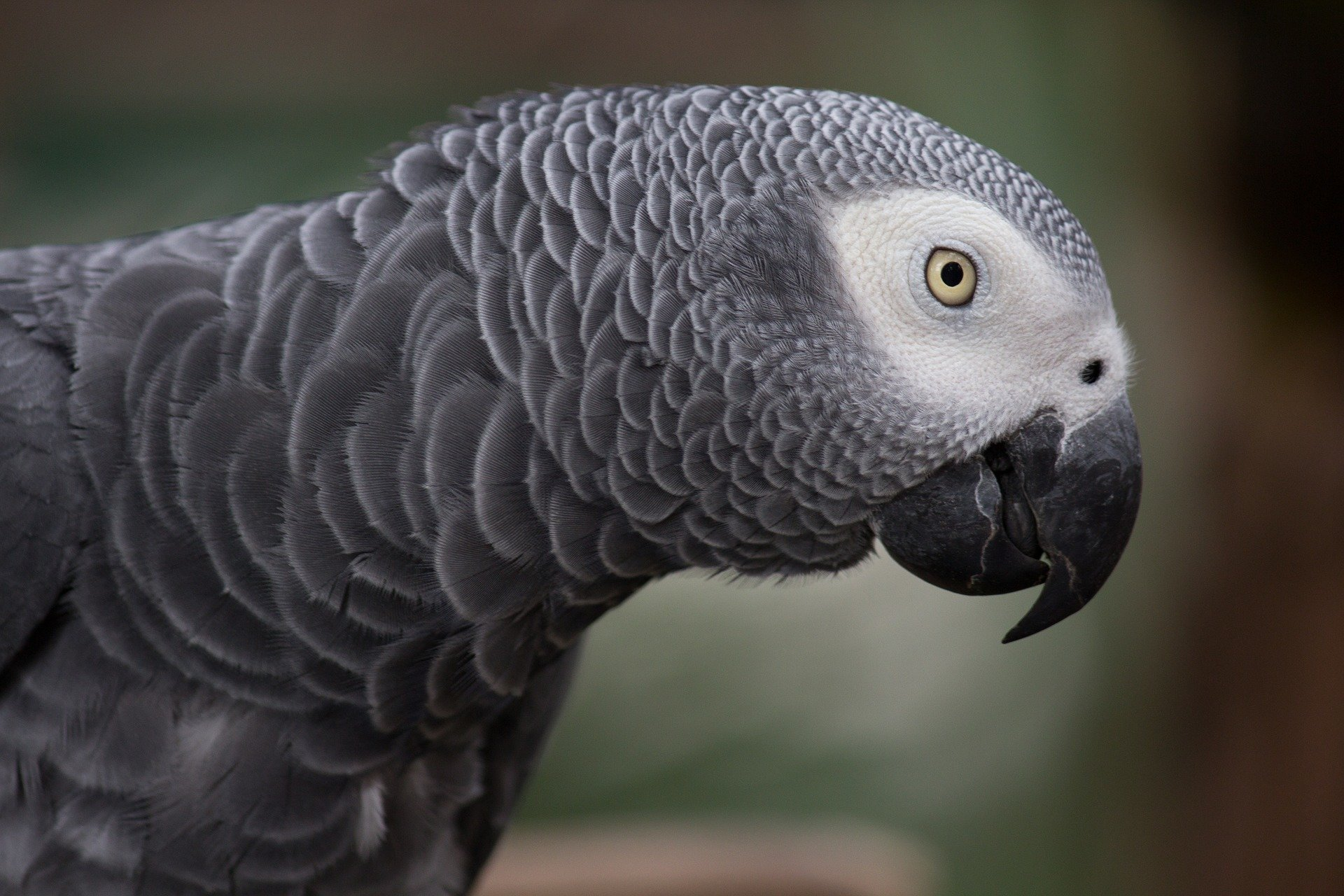 Watch How to Choose an African Grey Parrot video