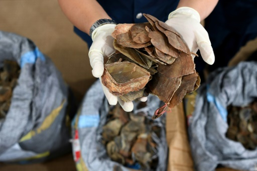 Huge haul of pangolin scales in Malaysia