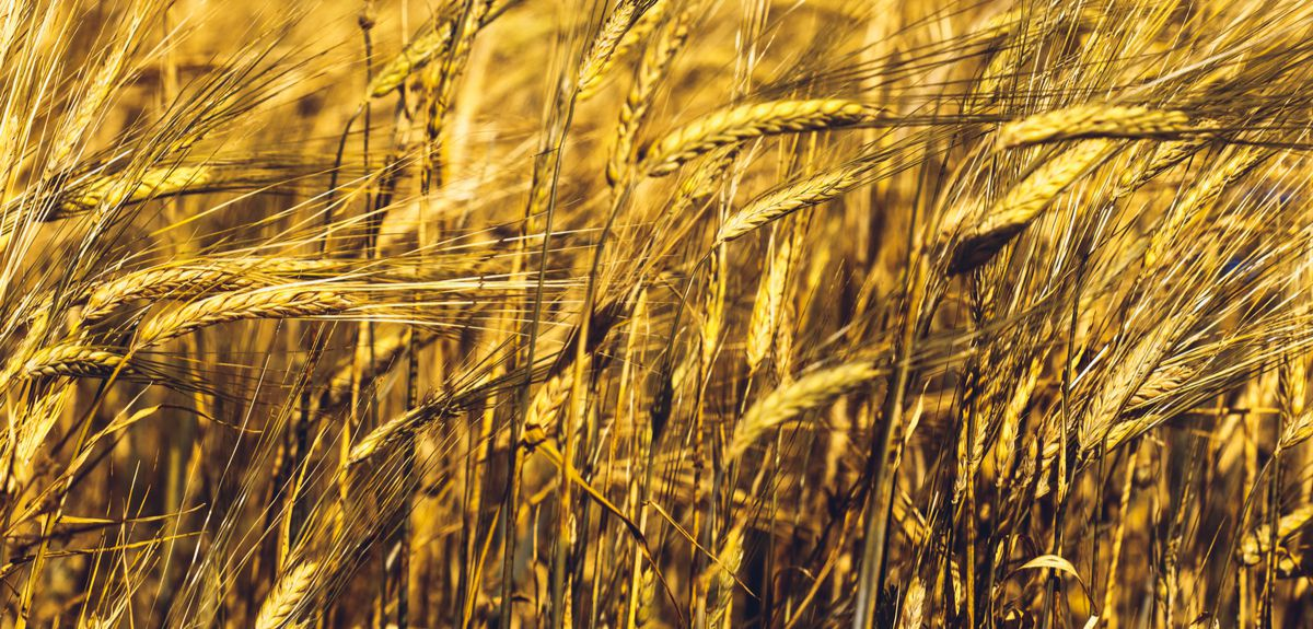 ancient grain tells the tale of our ancestors cities