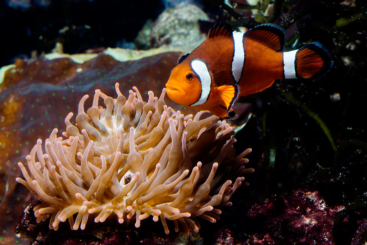 Anemonefish dads further fathering research for What do clown fish eat