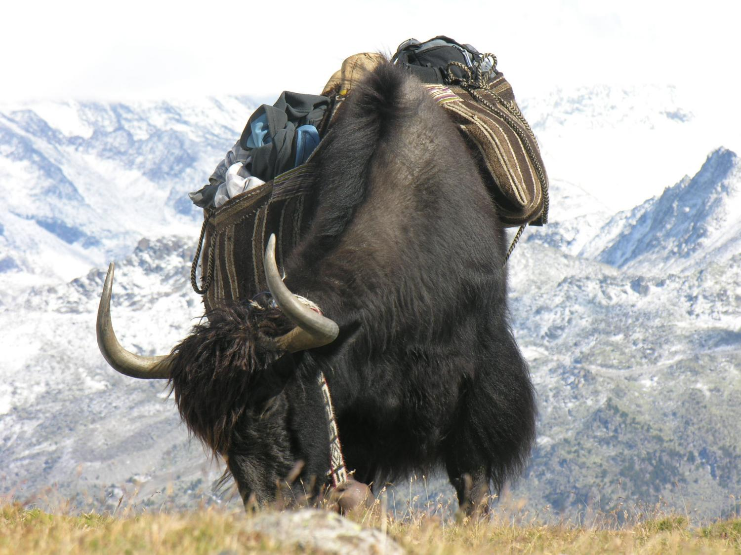 Image Of A Yak: The Bovine Heritage Of The Yak