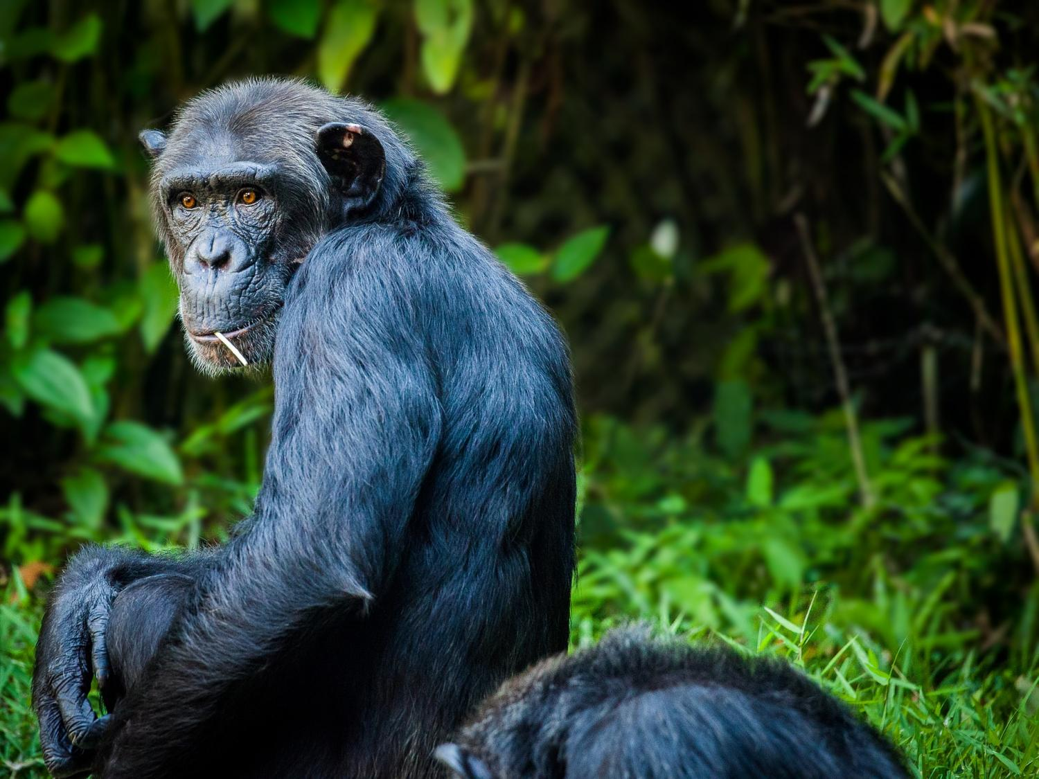 apes abilities misunderstood by decades of poor science