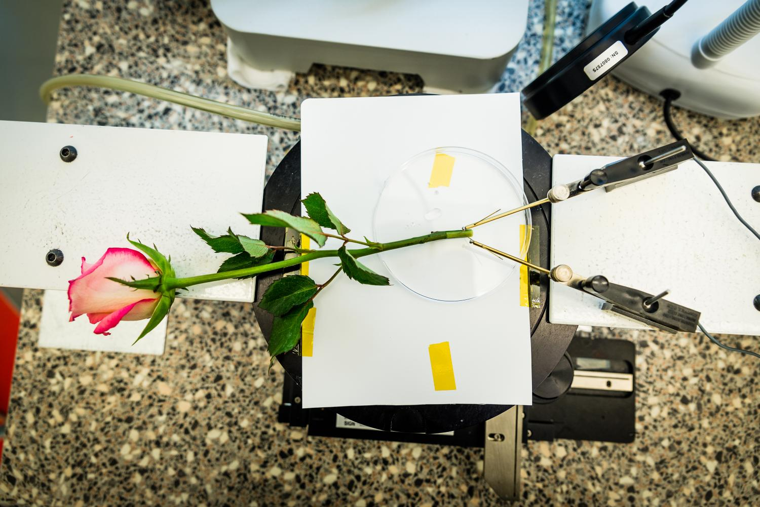 A Rose To Store Energy In Vivo Polymerization And Manufacturing Of Led Flashlight Use Supercapacitor Circuitschematic From Laboratory Organic Electronic Linkping University Credit Thor Balkhed