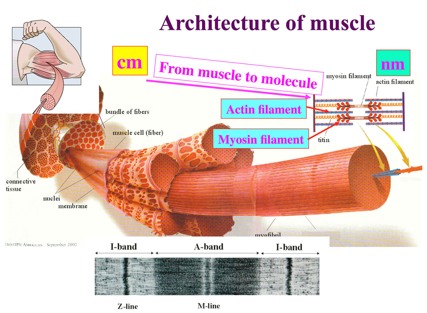 Fiber One News >> Atomic resolution of muscle contraction