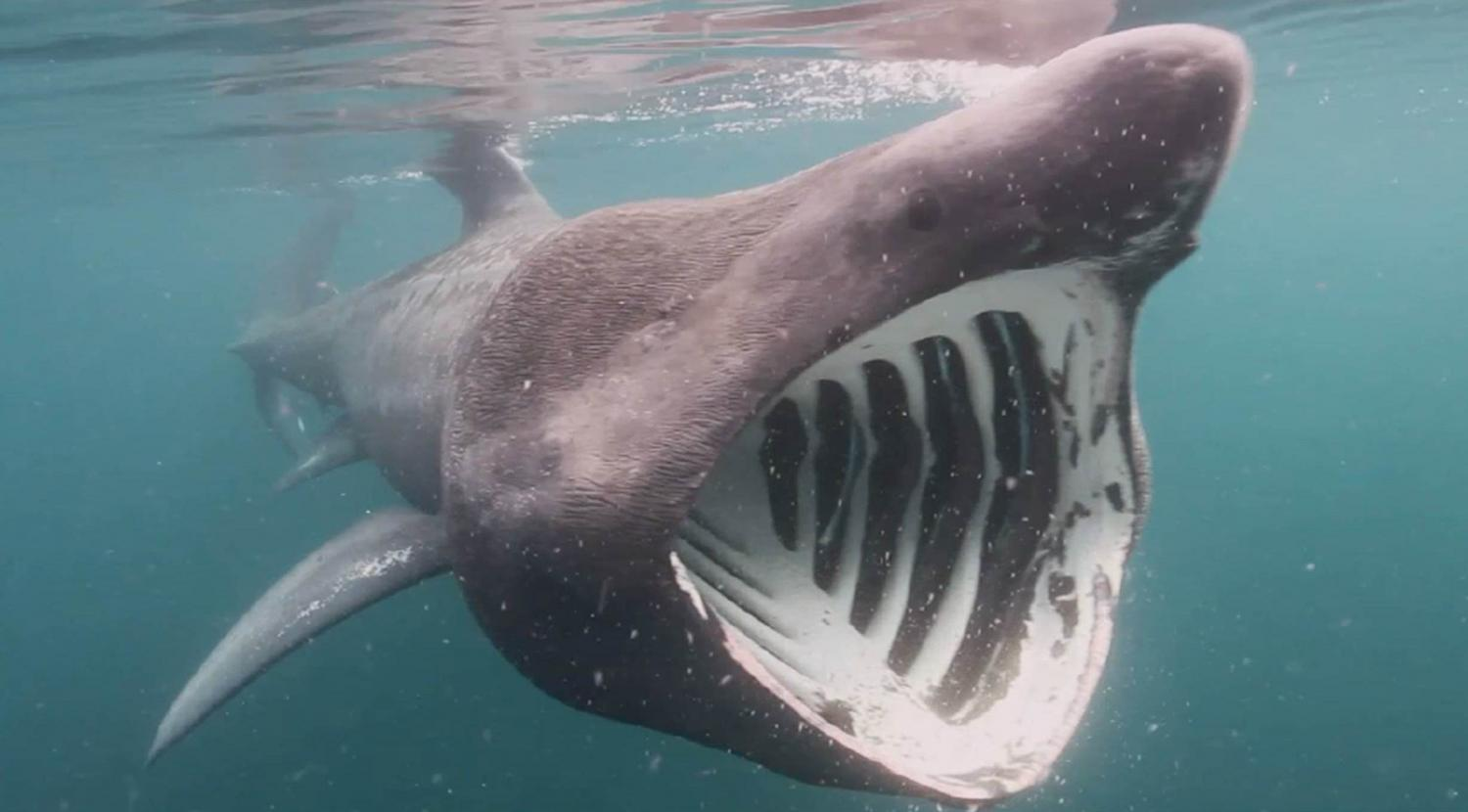 Basking sharks seek out winter sun