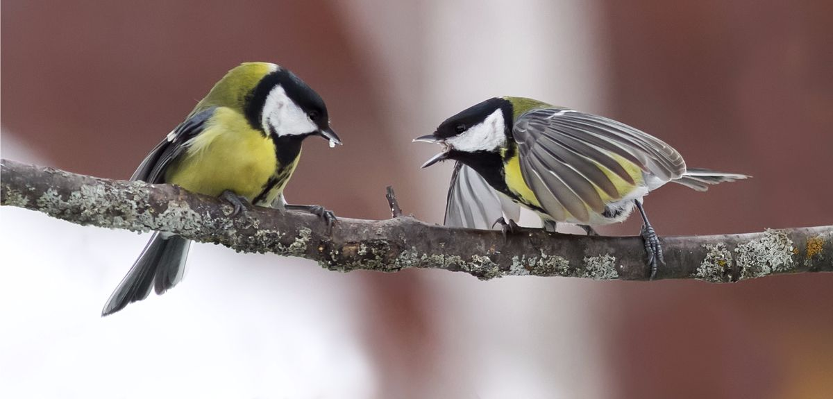 Image result for parus major shy