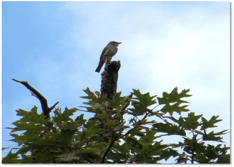 ¿Por qué las aves cantan la misma canción una y otra vez?