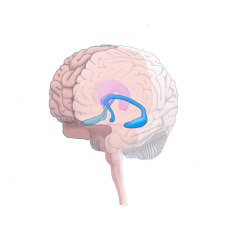 Brain's hippocampal volume, social environment affect ...