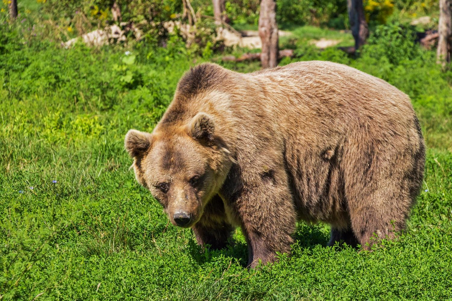 brown bear saliva found to contain chemical that kills