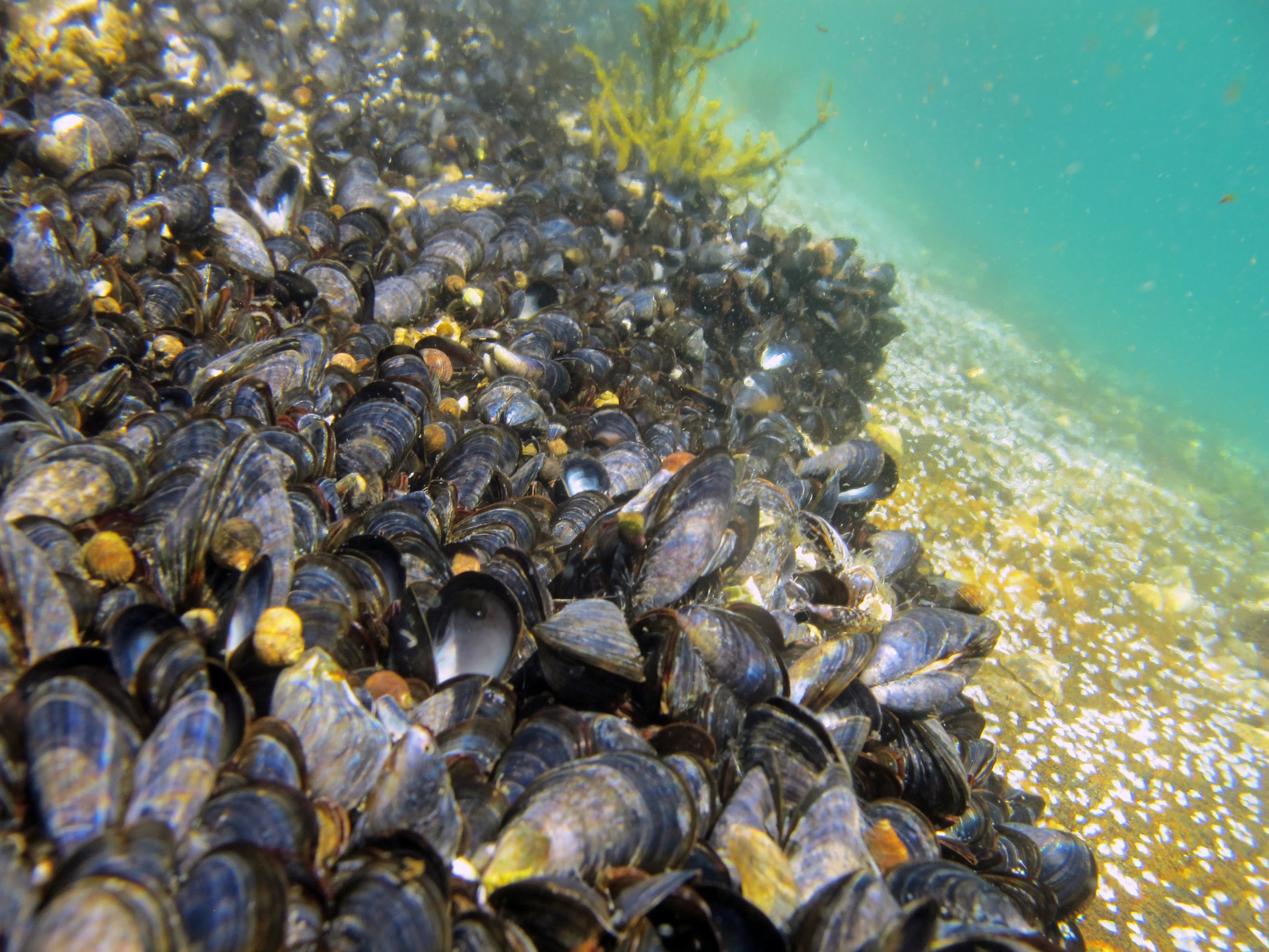 The filtration and storage of pollutants are so efficient that blue mussels are used in environmental monitoring they are like environmental detectives