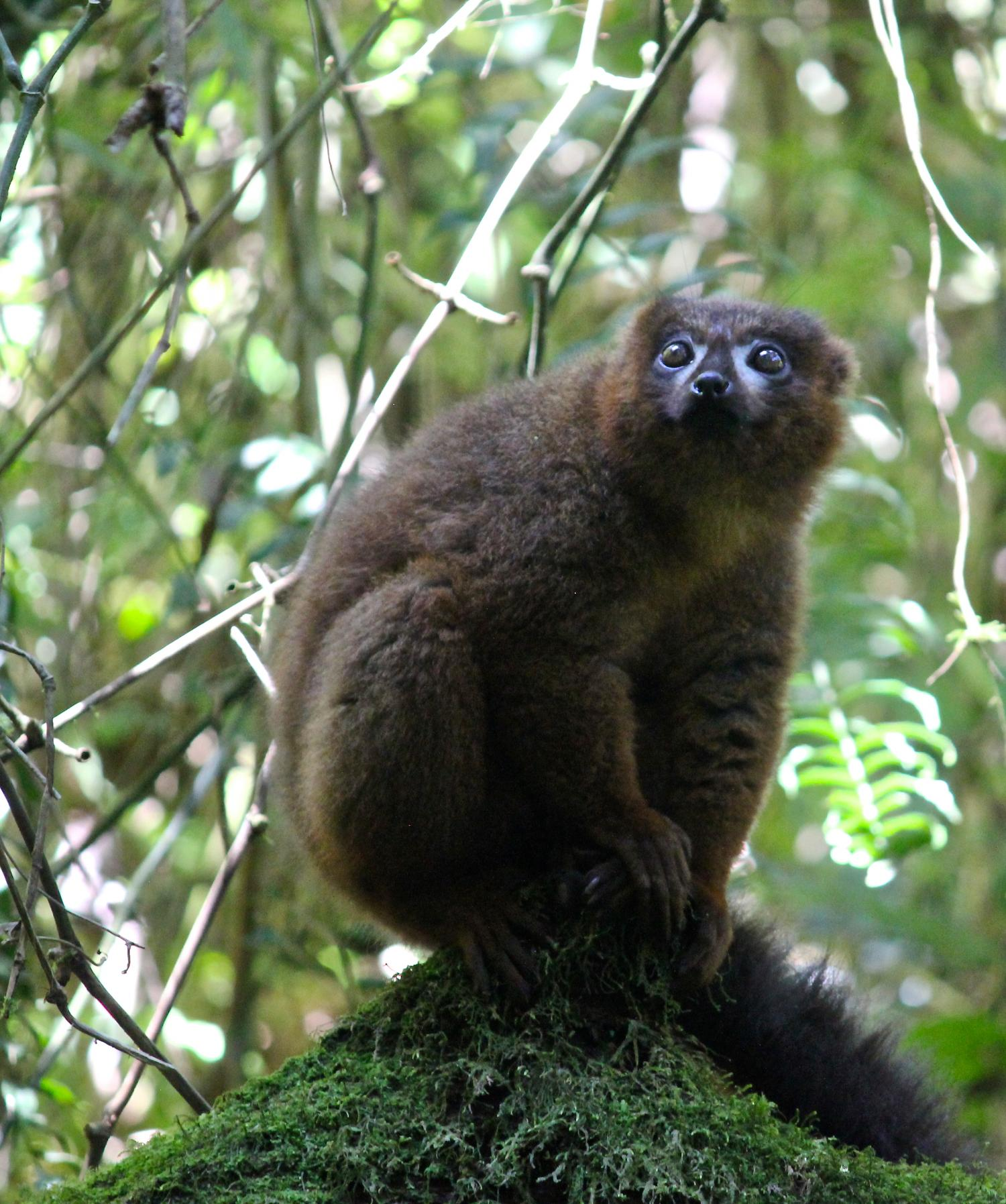 Why Scientists Developed Facial Recognition For Lemurs