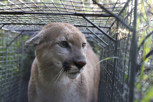 Mountain lion P-55 crosses the 101 freeway-it's a rare achievement