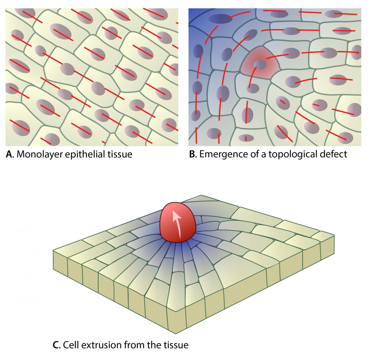 Defects In Epithelial Tissue Organisation A Question Of Life Or Death