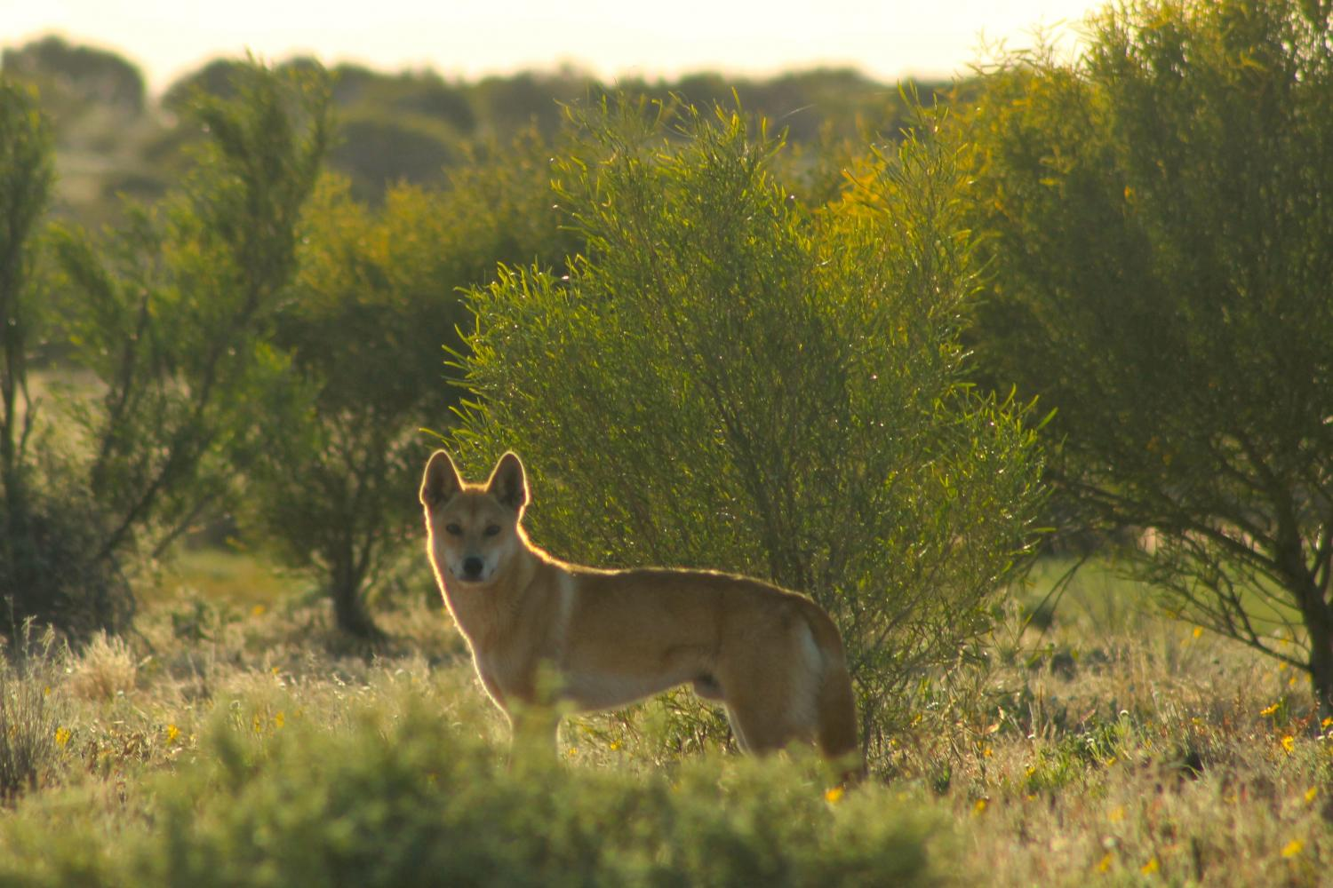 Dingo Fence Study Shows Extermination Leads To