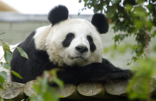 Our giant panda is not pregnant, says Edinburgh zoo