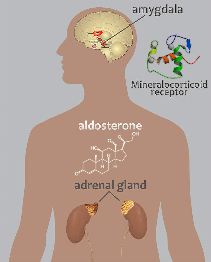 Adrenal Gland: Findings Link Aldosterone With Alcohol Use Disorder