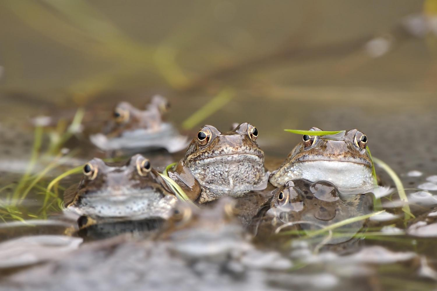 technique spots frog populations at risk from pollution