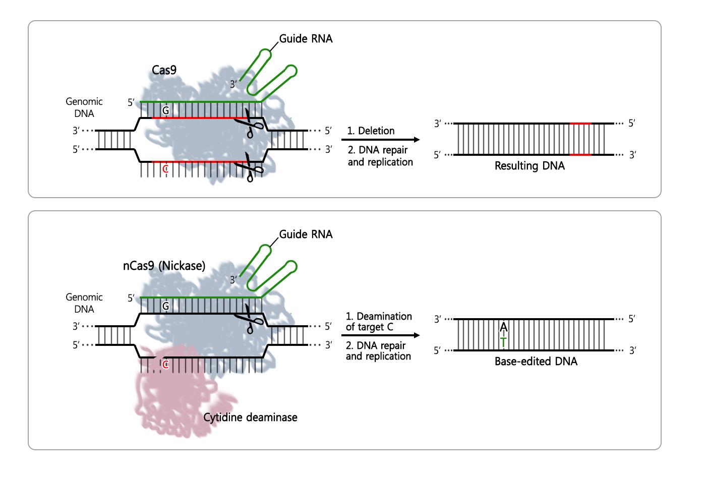 First Crispr Single Nucleotide Edited Transgenic Mice
