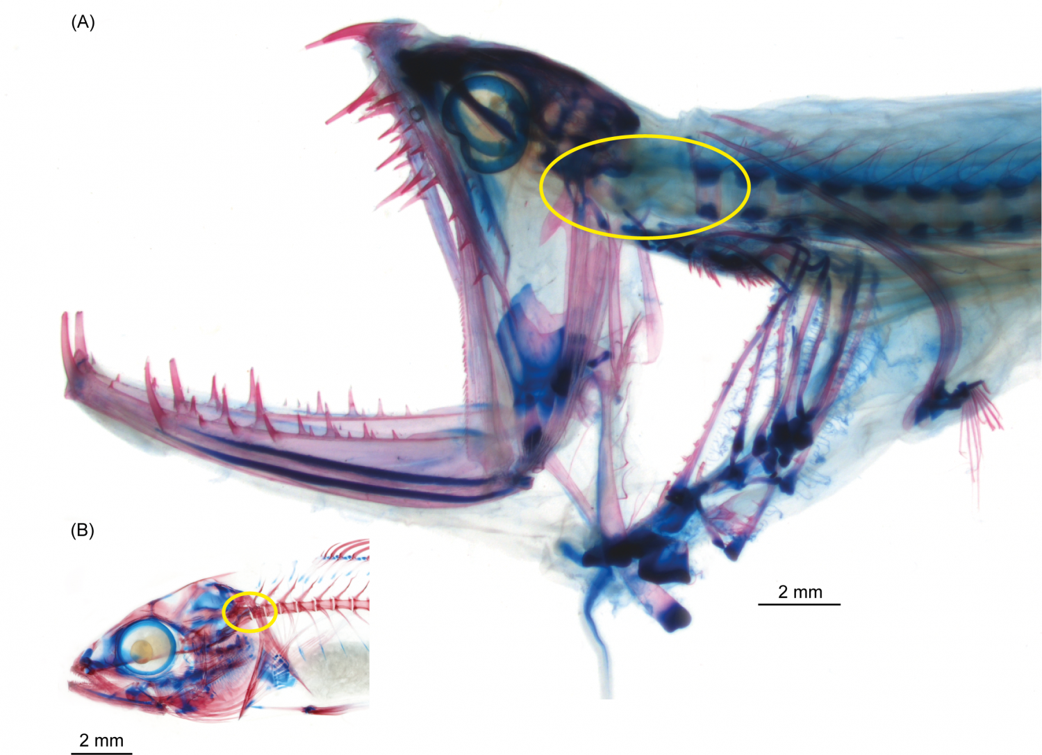 First functional fish head joint discovered in deep-sea dragonfishes ...