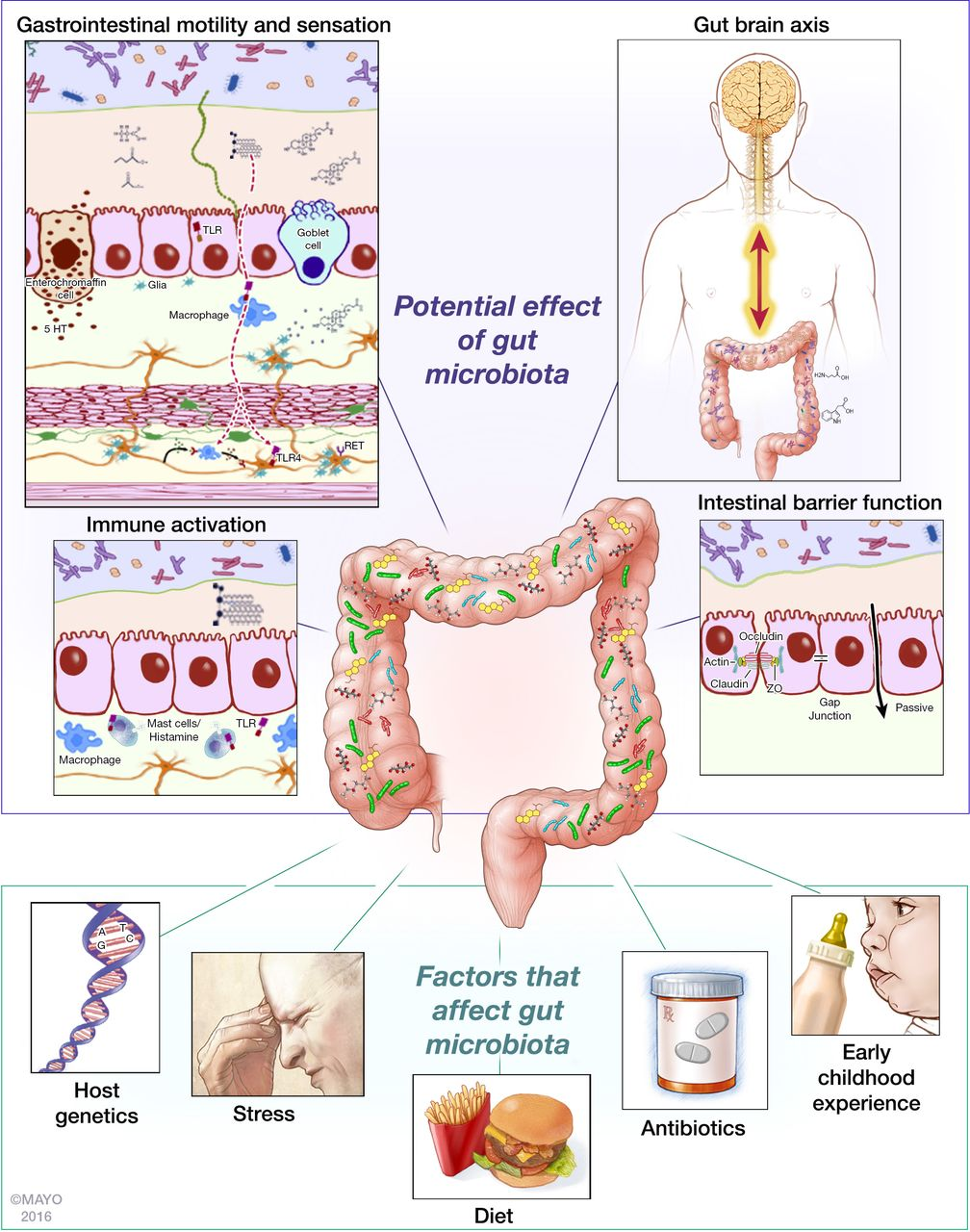 Food And Antibiotics May Change Microorganisms In Gut